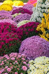 Blütentraum 3 (KaAuenwasser) Tags: chrysanthemen blüten blütenmeer blumen pflanzen deko farben bunt farbig blütentraum traum gelb