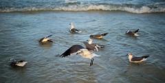 Lift Off (Sarah Sonny) Tags: bird seagull ocean sea seashore beach