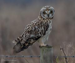Fenland Photo Call (budgiepaulbird) Tags: shorteared burwell birdsofprey nationaltrust burwellfen 100400mark2 canon7dmark2 perched posing