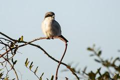 _DSC0388Shrike (Joe Meyer) Tags: nature birds shrike