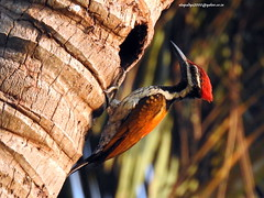 DSCN5993 Black-rumped Flameback (Dinopium benghalense)-male (vlupadya) Tags: greatnature animal aves fauna indianbirds blackrumped flameback male dinopium kundapura karnataka