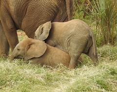Let's Play by Nina (alpenglowtravelers) Tags: wildlife safari kenya samburu
