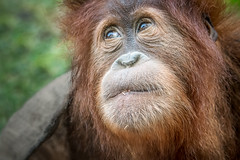 Orangutan Girl (helenehoffman) Tags: conservationstatuscriticallyendangered greatape wildlife aisha primate mammal indonesia orangutan sandiegozoo pongoabelii nature sumatra enrichment animal coth coth5