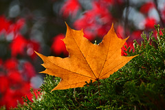 Hedged (James_D_Images) Tags: autumn fall leaf foliage fallen caught hedge orange brown green red bokeh backlit