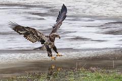 PREPARE FOR SPLASHDOWN (Wade.J.) Tags: american bald eagle winter flight food meal ice water dinner wings spread nikon