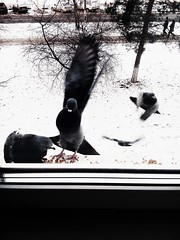 Pigeons fly to the window (msergeevna) Tags: prestigio window pigeons fly bird