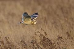 K32P8213a Short-eared Owl, Burwell Fen, November 2018 (bobchappell55) Tags: asioflammeus shorteared owl burwellfen cambridgeshire bird wild wildlife nature flight