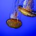 Sea Nettles, Monterey Bay Aquarium 1/16/19 #montereyaq