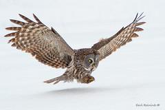 Great Gray Owl (Earl Reinink) Tags: owl greatgrayowl bird animal winter snow white nature wildlife earlreinink aeadtaudta