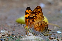 Vagrans sinha - the Vagrant (BugsAlive) Tags: butterfly mariposa papillon farfalla 蝴蝶 schmetterling бабочка conbướm ผีเสื้อ animal outdoor insects insect lepidoptera macro nature nymphalidae vagranssinha thevagrant heliconiinae wildlife chiangdaons เชียงดาว chiangmai ผีเสื้อในประเทศไทย liveinsects thailand thailandbutterflies nikon105mm bugsalive ผีเสื้อพเนจร