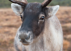 Rudolph? (captures.in.time) Tags: rudolph reindeer cairngorm heard christmas card merry scotland aviemore tundra nationalpark cairngormraindeer highlands grampian santa