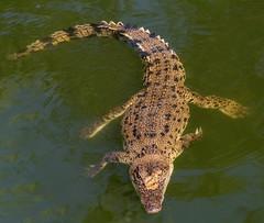 Crocodile (betadecay2000) Tags: crocodylus park berrimah darwin northern territory australia johnsoni freshie süswasserkrokodil krokodil reptilien reptil australien austral eidechse wasser tier makro