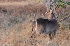 BK0_9468 (b kwankin) Tags: africa botswana botetiriver waterbuck oxpecker makgadikgadipansnationalpark