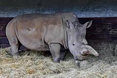 Rhino (nickym6274) Tags: woburnsafraipark woburn bedfordshire uk southernwhiterhino rhino rhinoceros ceratotheriumsimumsimum straw animal