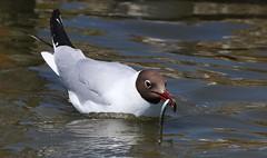 Black-headed gull - Brownsea Island Dorset (1) (Ann Collier Wildlife & General Photographer) Tags: blackheadedgull brownseaisland pooleharbour dorset dorsetwildlife birds bird island