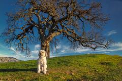 Tony by the tree in golden light (bodro) Tags: walnutcreek bluesky clouds dog goldenlight oak rollinghills tree