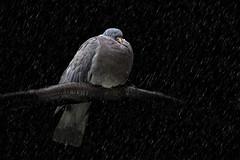Wood pigeon in the rain 2 (Marijke M2011) Tags: animalportrait animal rain pigeon nature vogel bird atmosphere mood mooywerk amsterdam netherlands houtduif woodpigeon