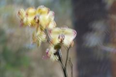 Orchideentraum - Orchid dream (heinrich.hehl) Tags: natur flora blume orchidee icm nature flower orchid verwischt blur