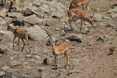Impala (Rckr88) Tags: impala impalas antelope buck animals animal krugernationalpark southafrica kruger national park south africa nature naturalworld outdoors wilderness wildlife