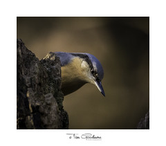 Why hello down there! (timgoodacre) Tags: nuthatch bird birds birdportrait birdlife nature nationalgeographic natural animal animalportrait wildbird wildlife wildanimal wild wildfowl ngc treestump tree seed nuts