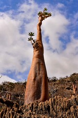 Bottle Tree (Rod Waddington) Tags: middle east yemen yemeni socotra island bottle tree nature landscape plant rocks rock clouds outdoor adenium obesium mumi plateau