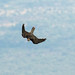 Lanner Falcon swooping - Kerio Valley - Kenya CD5A7377