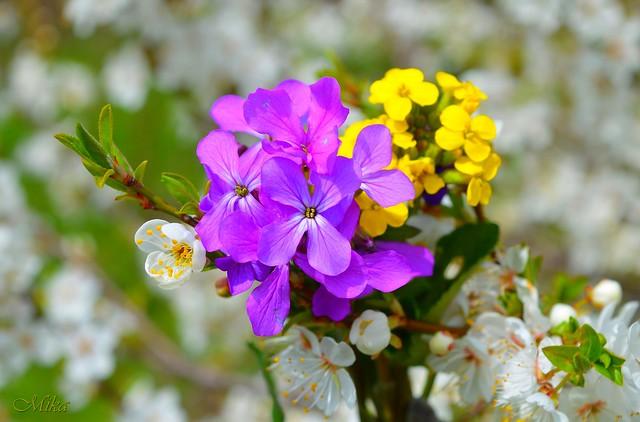 Обои Цветочки, Flowers, Цветение, Фиолетовые цветы, Flowering, Purple flowers картинки на рабочий стол, раздел цветы - скачать
