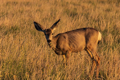 Mule Deer - Rocky Mountain Arsenal - Denver, Colorado (BeerAndLoathing) Tags: 2018 rockymountainarsenal usa denver wildlife 77d colorado deer canon fall september autumn canoneos77d