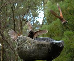 (kattabrained) Tags: nestormeridionalis new zealand parrot kaka