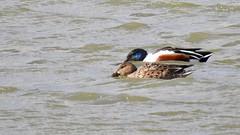 Shovellers (LouisaHocking) Tags: wild wildlife nature southwales creature bird british wales shoveller ducks