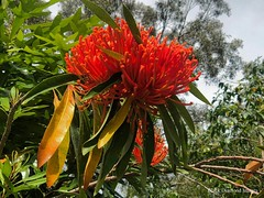 Alloxylon flammeum - Queensland Tree Waratah, Red Silky Oak (Black Diamond Images) Tags: treewaratah arfp qrfp tropicalarf arfflowers redarfflowers uplandarf alloxylon alloxylonflammeum proteaceae rnrfgdb rnrfgdbarfp redfp raintrees diamondbeach nsw iphonex appleiphonex iphone queenslandtreewaratah redsilkyoak iphonephotography shotoniphone