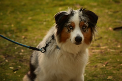 Australian Shepherd (remiklitsch) Tags: dog australianshepherd portrait santamonica nikon remiklitsch pet eyes