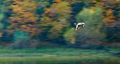 46/52 Movimiento: El vuelo del cormorán (Lufersa007) Tags: pajaro bird ave vuelo flight otoño fall movimiento movement