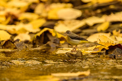 Grey Wagtail (Adam Stinton) Tags: leaves wildlife greywagtail plants water birds wagtails landscapes seasons autumn animmals nature bristol england uk