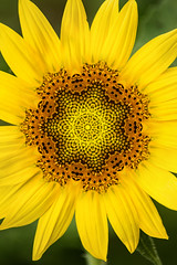 Artistic 2 Perfect Sunflower 12-0 F LR 7-13-18 J328 (sunspotimages) Tags: flower flowers sunflower sunflowers yellow yellowflower yellowflowers yellowsunflower yellowsunflowers digitalmanipulation artistic artwork kaleidoscope