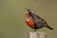 Cantando al vent (Pablo A. Leiva) Tags: loica birds aves mendoza avielpa wildlife vida nature naturaleza vidasalvaje