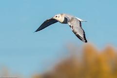 "CA3I2288-Bonaparte""s Gull (tfells) Tags: bonapartesgull bird nature wildlife pennsylvania philadelphia heinz nationalwildliferefuge"