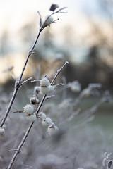 White frozen berries (jannaheli) Tags: finland helsinki laajasalo talvi winter marraskuu november nikond7200 nature luonto luontovalokuvaus naturephotography naturetherapy luontoterapia outdoor outside ulkona rauha peace suomi frozen jäässä frost halla huurre