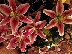#HappyWeekendAll (RenateEurope) Tags: 2018 renateeurope iphoneography pink plants lilien lilium flowers flora happyweekendall
