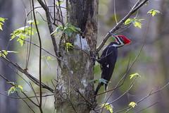 Pileated Woodpecker (DFChurch) Tags: corkscrewswamp audubon florida nature animal wild wildlife bird pileated woodpecker