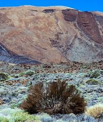 Retama (López Pablo) Tags: retama bush brown green lava red sky blue teide national park tenerife canary island spain nikon d7200