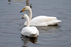Whooper swan (jkyles32) Tags: warwickshire warwickshirewildlifetrust brandonmarsh whooperswan