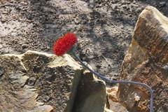 Kleinia grantii Hook. fil. (Syn. Senecio sempervivus subsp. grantii (Oliv. & Hiern) G.D. Rowley) - BG Meise (Ruud de Block) Tags: ruuddeblock meisebotanicalgarden jardinbotaniquemeise nationaleplantentuinmeise botanicalgardenmeise compositae asteraceae kleiniagrantii kleinia grantii senecio