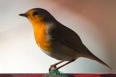 (Jérôme_M) Tags: canon eos 600d nature faune oiseau bird rougegorge aquitaine landes seignanx balcon mangeoire natimages natgeo lemondedelaphoro
