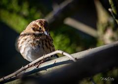Reed bunting  - Female (vickyouten) Tags: reedbunting nature wildlife britishwildlife wildlifephotography nikon nikond7200 nikonphotography sigma sigma150600mm penningtonflash leigh uk vickyouten