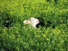 perfect bliss (lualba) Tags: bliss glück sonne sun sole soleil lamm lamb blumen flowers wiese meadow nature natur alentejo portugal
