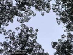 IMG_9834_PS.Comp2048 (SF_HDV) Tags: iphone7s ecuador amazon napo naporiver napoprovince tree canopy kapok kapoktree jungle leaves leaf