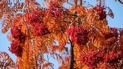 Autumn colours in York, 2018 - 13 (nican45) Tags: 15november2018 15112018 18135 18135mm 2018 csc fuji fujifilm november xt2 xf18135mmf3556rlmoiswr york yorkshire autumn berries berry colours elderberry fall garden home mirrorless tree
