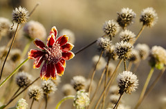 First touch of sunlight (konradpoland) Tags: polska poland poniatowa flower nature outdoor frost frozen frosty winter nikon sigma 105mm macro natura natural d7000 d7k