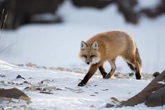 red fox (Mary Bassani) Tags: redfox zorro volperossa canonphotographer canada winter animalplanet animallovers churchill manitoba canonwildlifephotographer wild wildlife running vulpes ngc